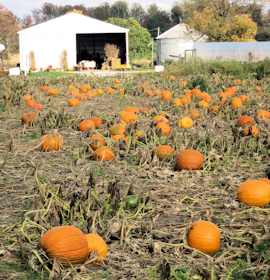 Indiana Pumpkin Patch Photo